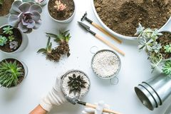 Planting of succulents. Top view of planting succuletns into pot with hands in mitten with copy space stock image