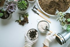Planting of succulents. Top view of planting succuletns into pot with hands in mitten with copy space royalty free stock image