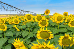 Planting of sunflowers with irrigation by aspresion Royalty Free Stock Image