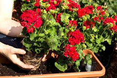 Planting time. A geranium is planted in a flower box Royalty Free Stock Image