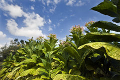 Planting tobacco. Under the blue sky Stock Photo