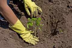 Planting of tomato Royalty Free Stock Photo