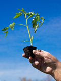 Planting tomato Stock Images