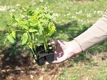 Planting tomato Royalty Free Stock Photos