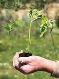 Planting tomato Stock Photos