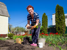 Planting a tomato in the garden Stock Photo