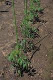 Planting of Tomato. Kitchen garden / Planting of Tomato stock photography