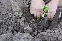 Planting tomato Stock Photos