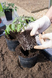 Planting Tomato Plant Stock Images