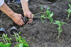 Planting a tomato seedling Stock Image