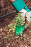 Planting a tomato seedling Royalty Free Stock Photo