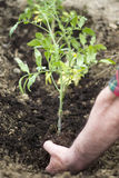 Planting tomato seedling Stock Photos