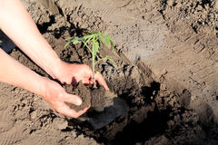 Planting tomato seedlings in hole with water. Close up. Stock Photography
