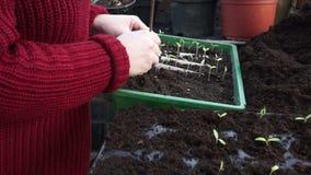 Planting Tomato Seedlings stock video footage