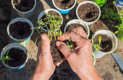 Planting of tomato seedlings Stock Photos