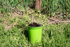 Planting of tomato seedlings Royalty Free Stock Photo
