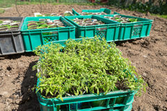 Planting of tomato seedlings Stock Image