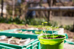 Planting of tomato seedlings Stock Photo