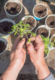 Planting of tomato seedlings Royalty Free Stock Images