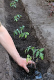 Planting tomato seedlings in trench in hole with water. Close up Stock Images
