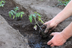 Planting tomato seedlings in trench in hole with water. Close up Royalty Free Stock Photography