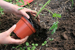 Planting tomatoes Royalty Free Stock Image