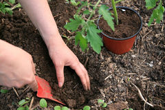 Planting tomatoes Stock Photos