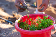 Planting tomatoes from a bucket Stock Photos