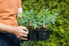 Planting tomatoes in the garden Royalty Free Stock Image