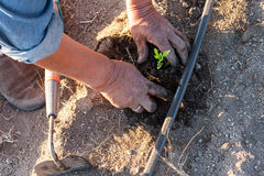 Planting tomatoes by hand Stock Images