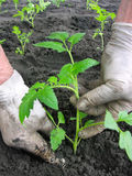 Planting a tomatoes  seedling. In the vegetable garden Royalty Free Stock Images