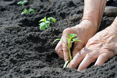 Planting a tomatoes seedling Royalty Free Stock Photos
