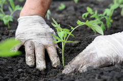 Planting a tomatoes seedling Royalty Free Stock Photo