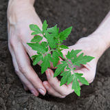 Planting tomatoes in the soil Stock Photos