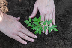 Planting tomatoes in the soil Stock Photography