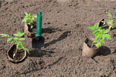Planting tomatoes in the soil. Tomato seedlings in peat pots prepared for planting stock images