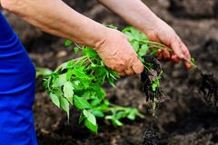 Planting tomatoes in the spring. stock images