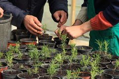 Planting a tree. Putting young trees in vases using hands Stock Image