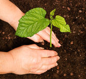 Planting a tree. Close up of woman Planting a tree royalty free stock photo