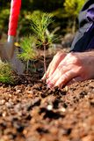 Planting a tree. Hands planting a young pine tree Royalty Free Stock Photos