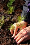 Planting a tree. Hands planting a young pine tree Royalty Free Stock Images