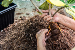 Planting a tree. Close- up planting the tree while working Royalty Free Stock Photos