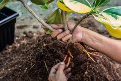Planting a tree. Close- up planting the tree while working Stock Image