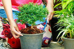 Planting a tree. Royalty Free Stock Image