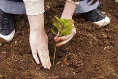 Planting tree with hands. Planting three in the garden royalty free stock image
