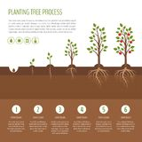 Planting tree process infographic. Apple tree growth stages. Ste vector illustration
