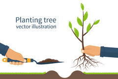 Planting tree, sapling vector. Planting tree, sapling with roots and garden spade in hand man. Process planting concept, infographic. Gardening, agriculture Stock Photos