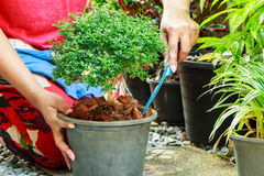 Planting a tree. Royalty Free Stock Photo