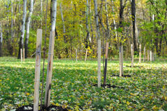 Planting trees in the park. Panting trees for the environment in. Fall Royalty Free Stock Photos