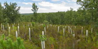 Planting trees with protective tubes. Planting trees in oak forest protection tubes with greenhouses for growing animals and adverse weather front stock photography